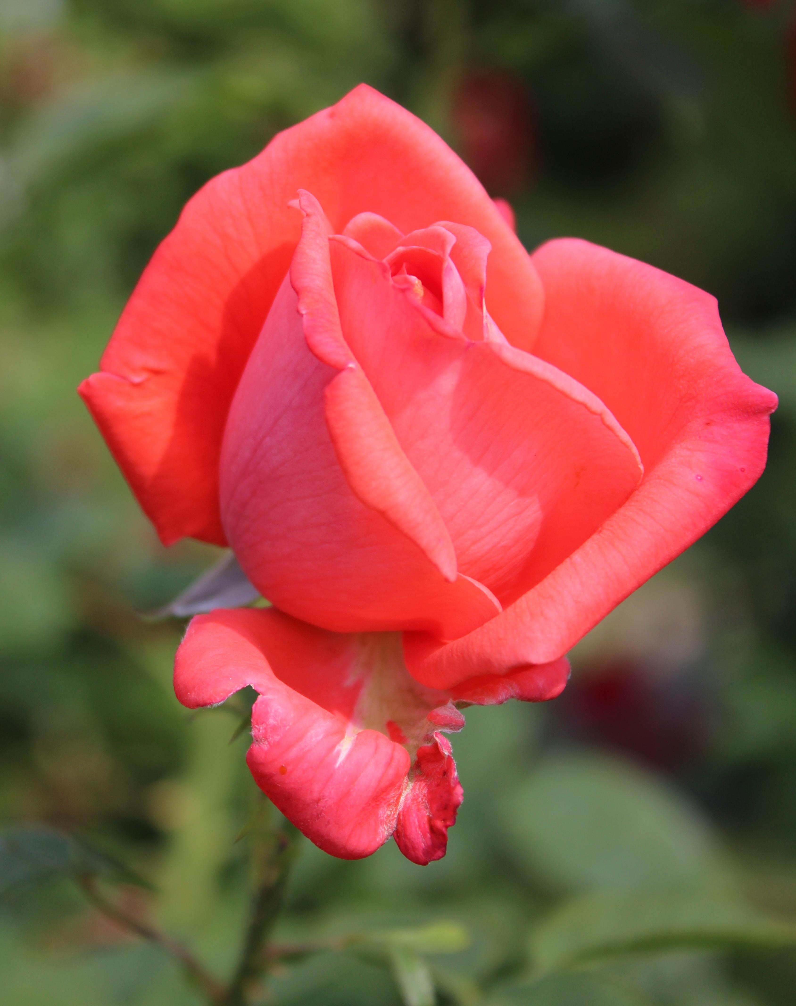 File Rosa Lady Wikimedia Commons