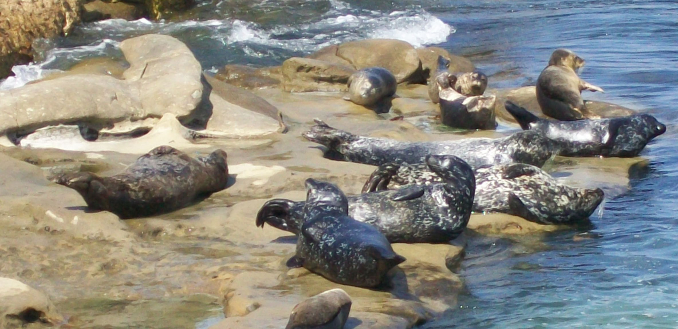 English: Wild seals and La Jolla Cove in Calif...