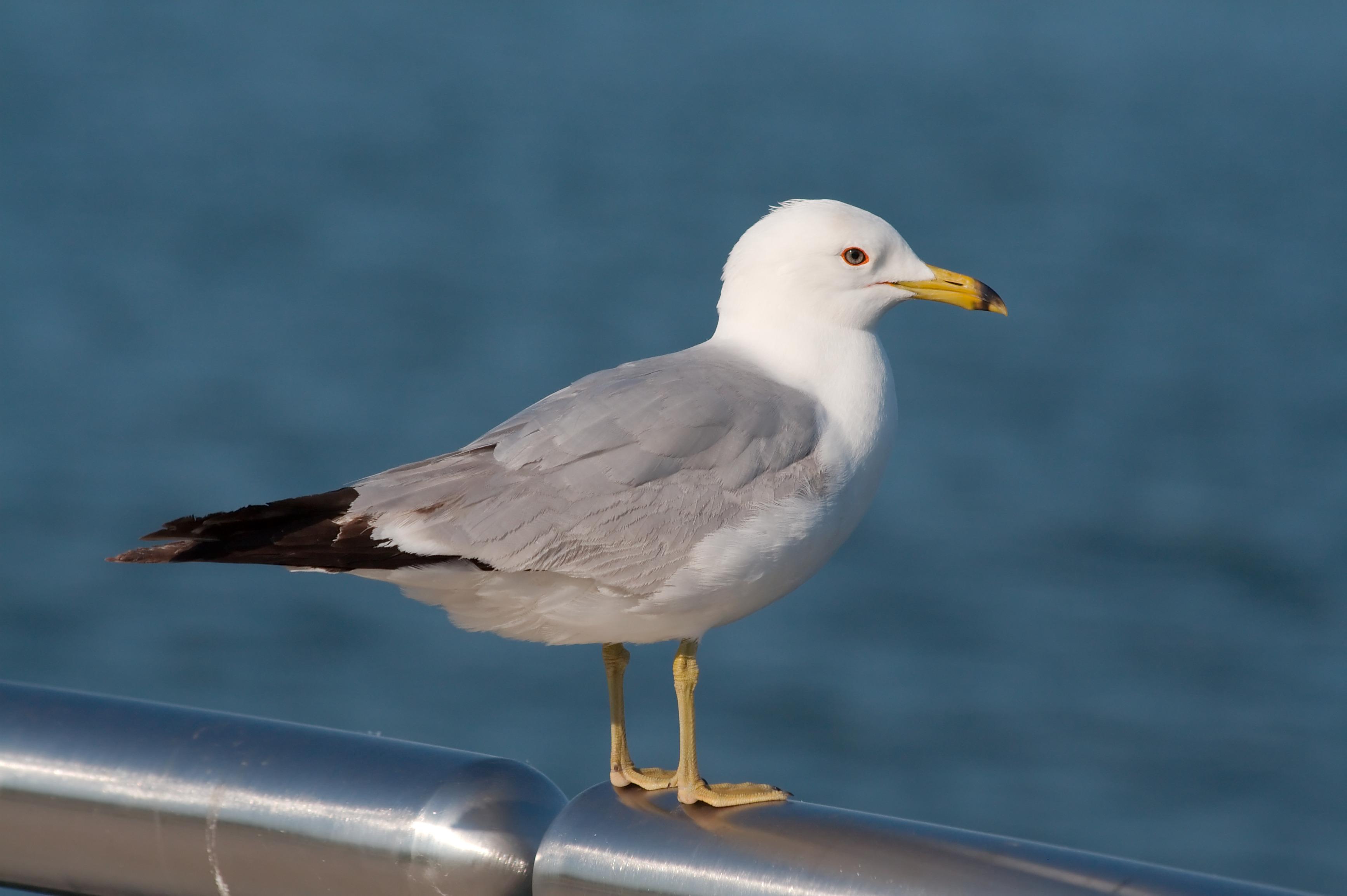 file seagull