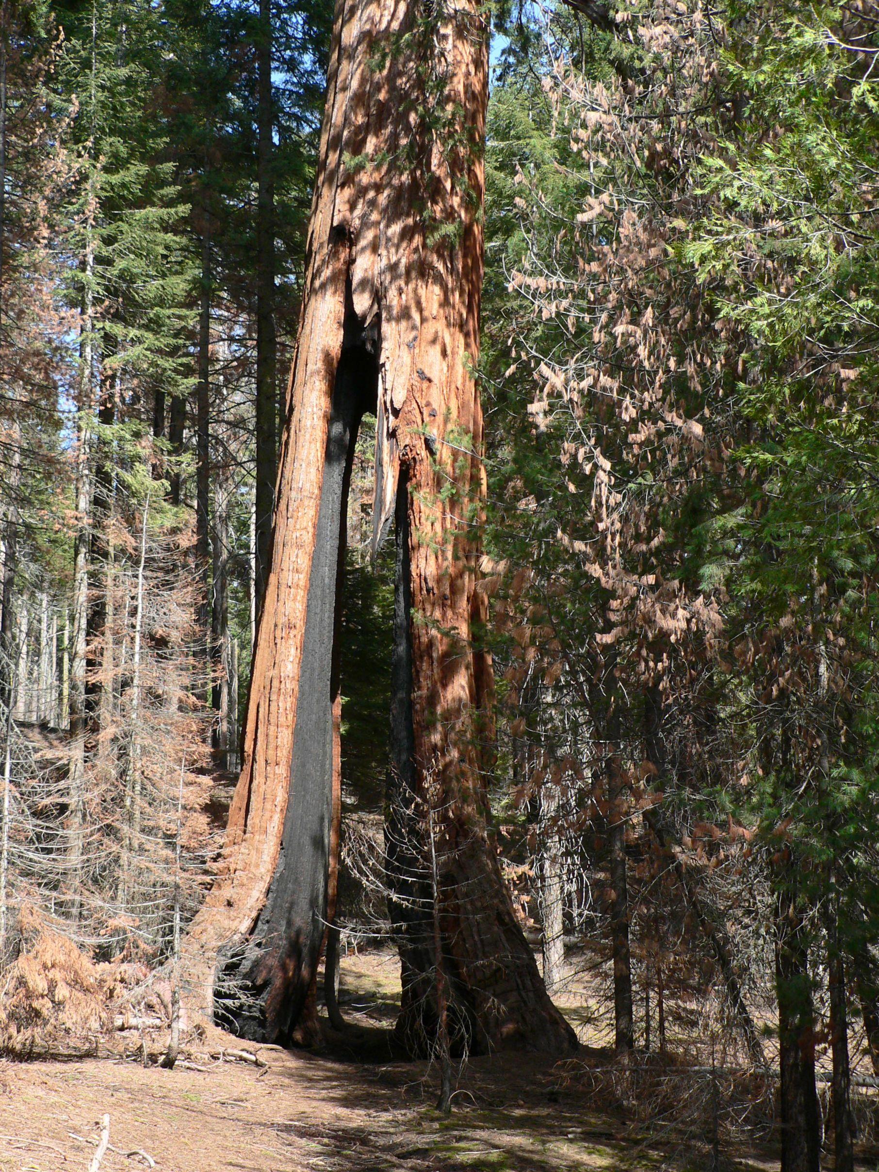 File Sequoiadendron Giganteum 08165 Jpg Wikimedia Commons