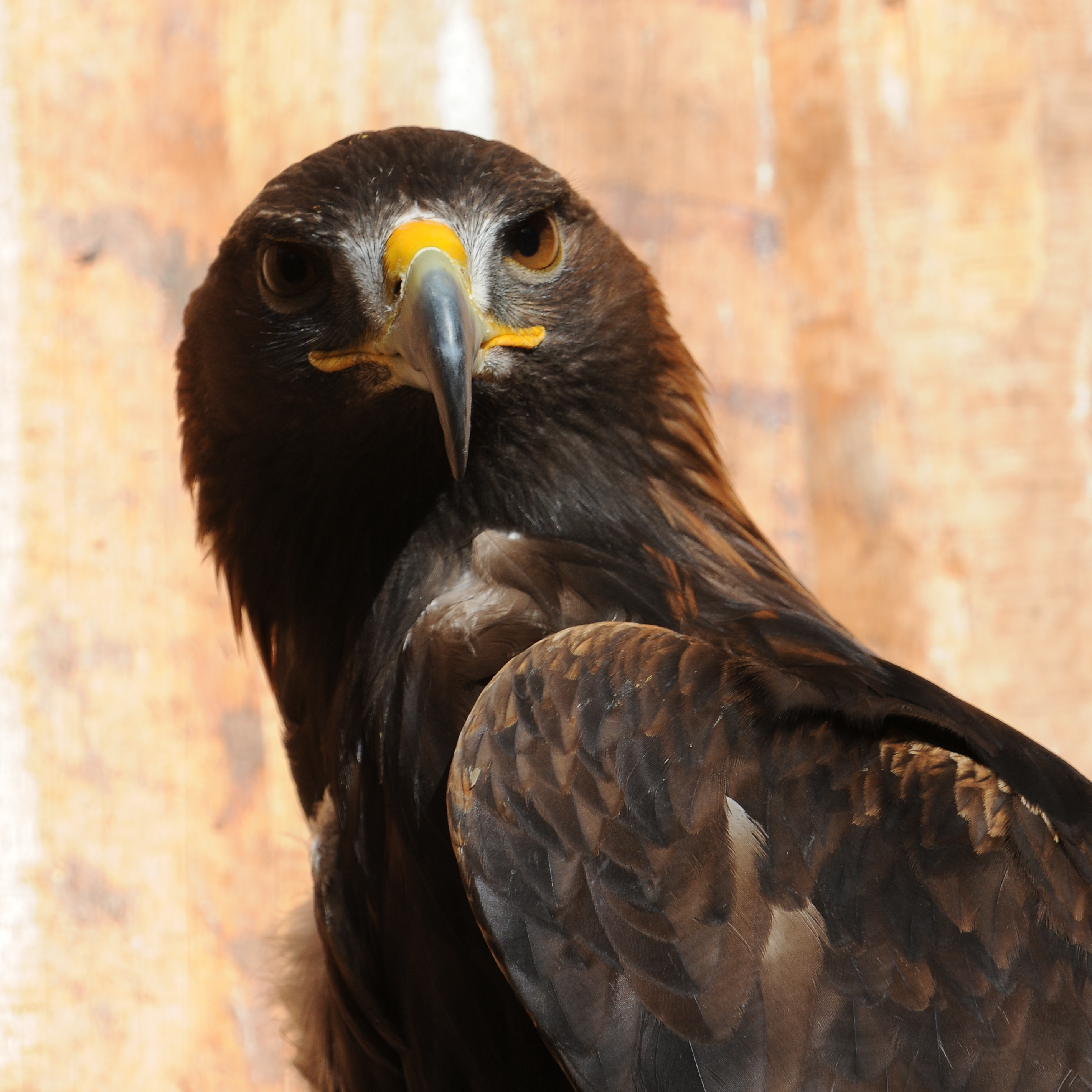 File:Steinadler, Aquila chrysaetos 05.JPG - Wikimedia Commons