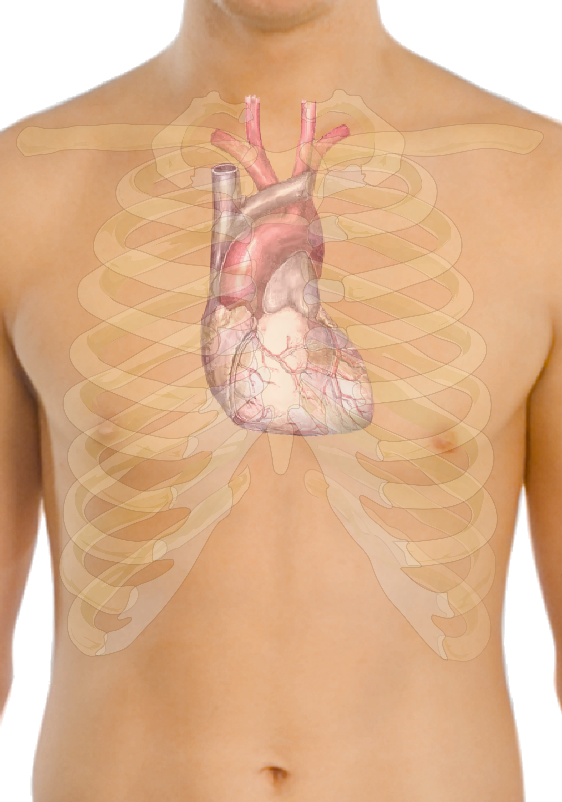 Filesurface Anatomy Of The Heartg Wikimedia Commons