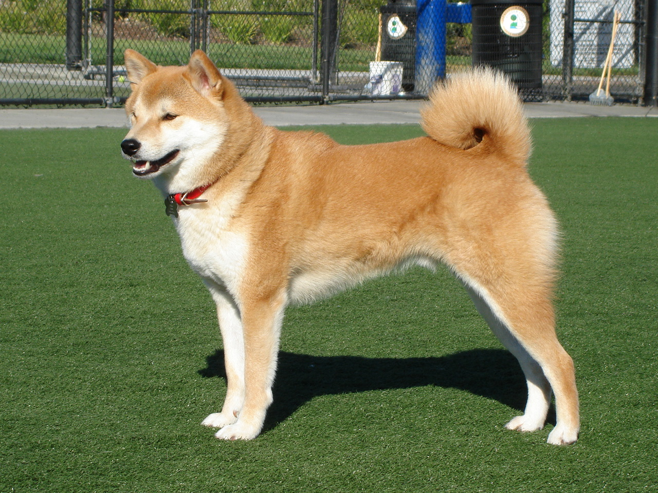 A shiba inu dog outside on grass