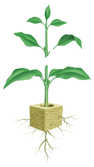 Plant cuttings can be taken by cutting a stem of a plant, or a single leaf.