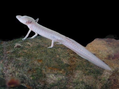 https://upload.wikimedia.org/wikipedia/commons/6/6b/Texas_blind_salamander.jpg