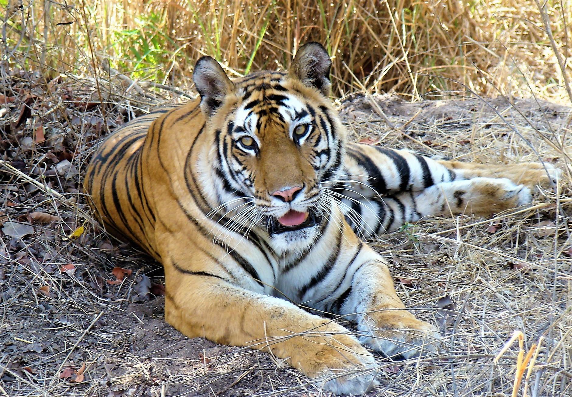 https://upload.wikimedia.org/wikipedia/commons/6/6b/Tigers_Of_Bandhavgarh%2C_truly_magnificent!.jpg