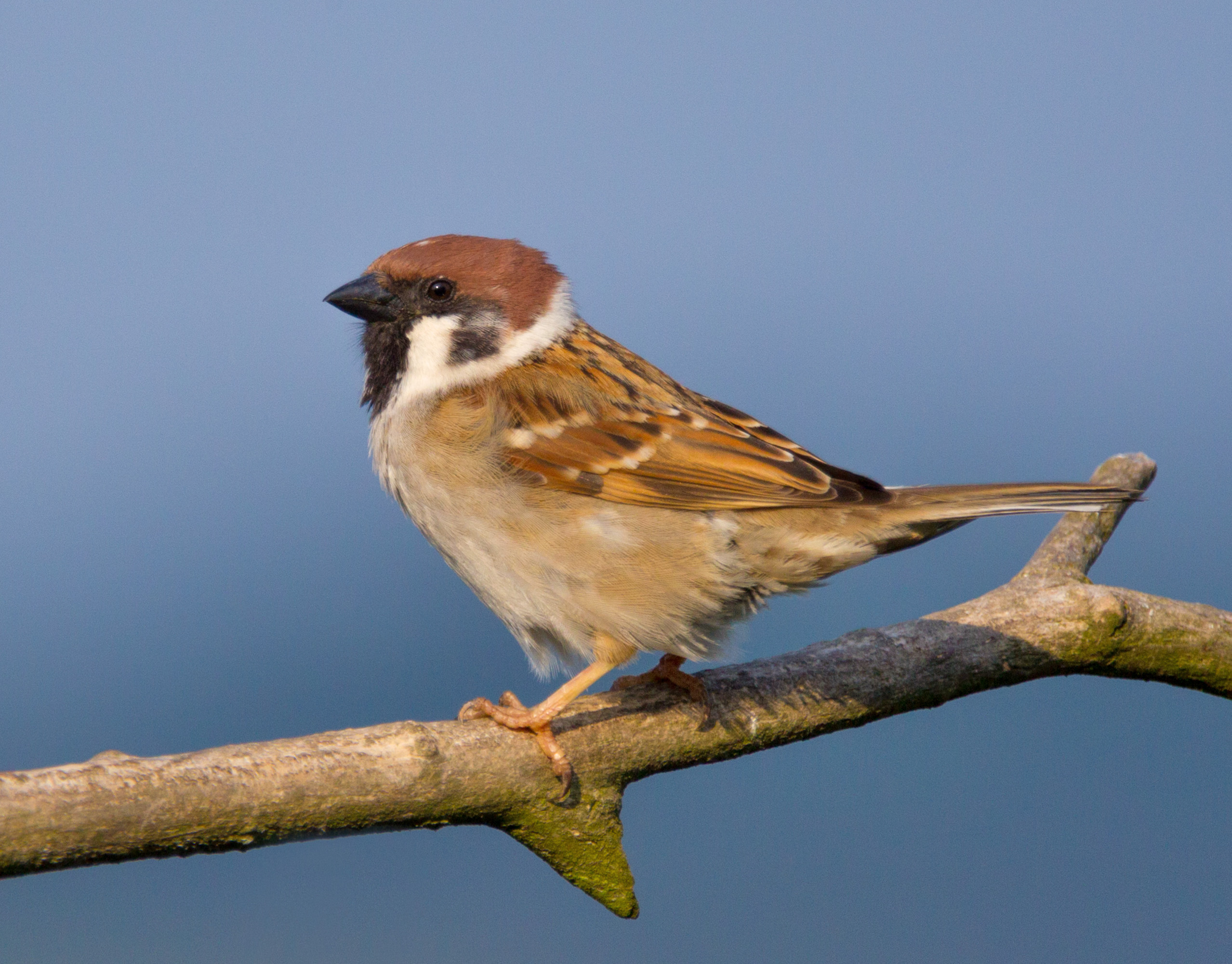 The Eurasian tree sparrow was the most notable target of the campaign. Image from WikiPedia.