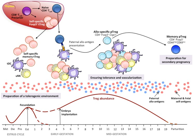 developing immunology in pregnancy The complexity of the immunology of pregnancy and the focus, for many years, on the concept of immunology of pregnancy as an organ transplantation have complicated the field and delayed the.