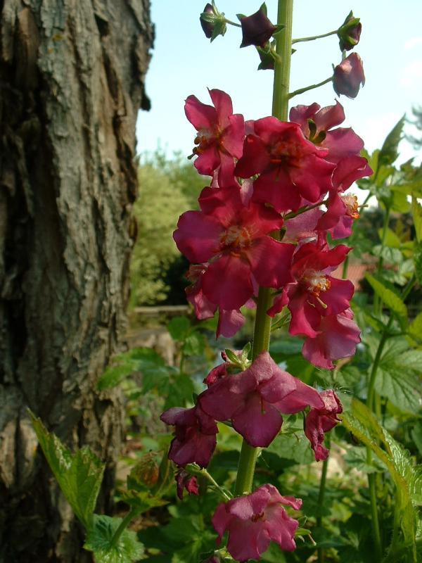 Verbascum phoeniceum -...