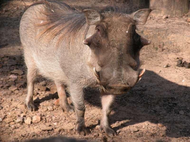 File:Warthog closeup 1.jpg
