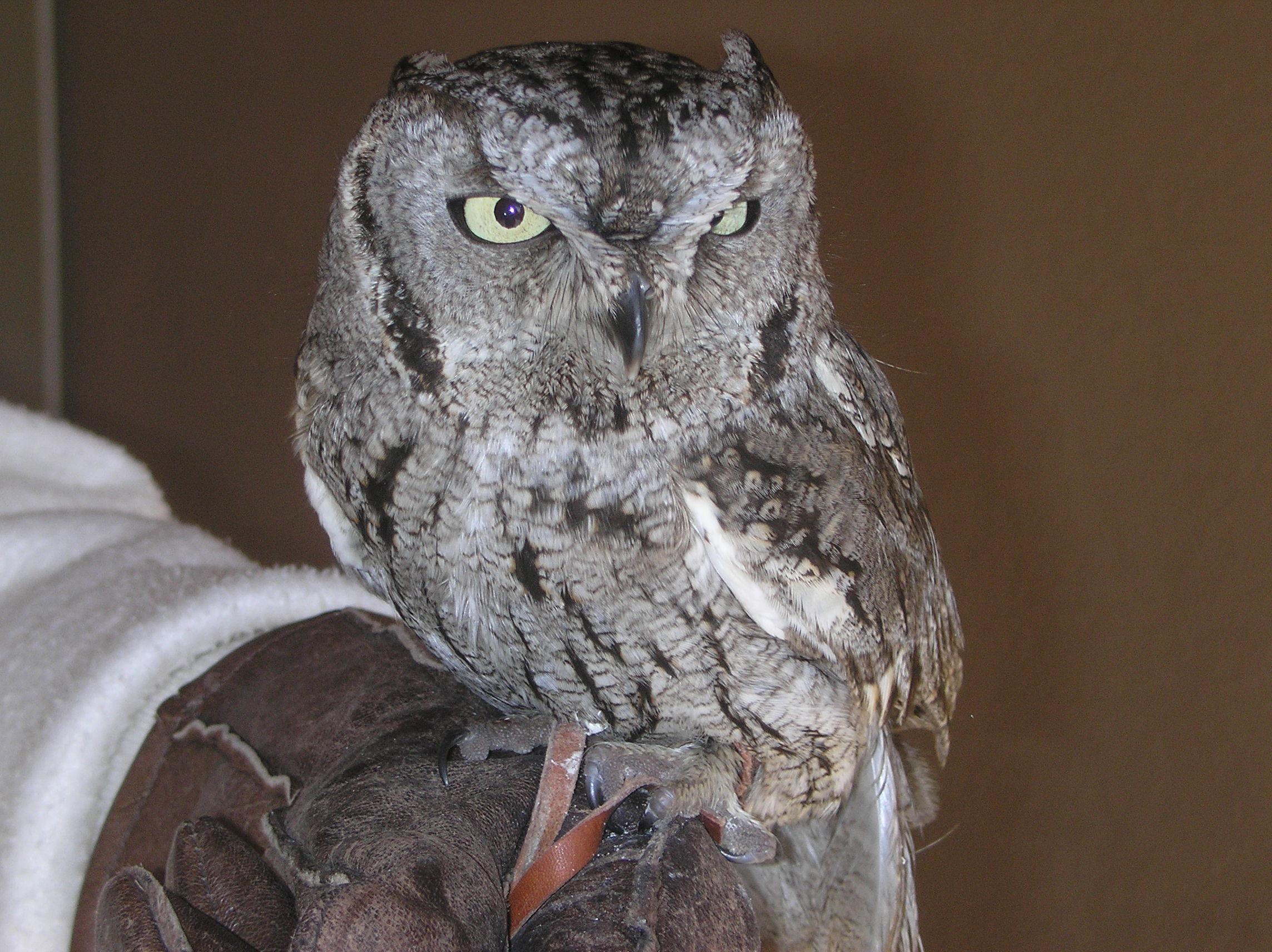 Western Screech-owl Otus Kennicottii