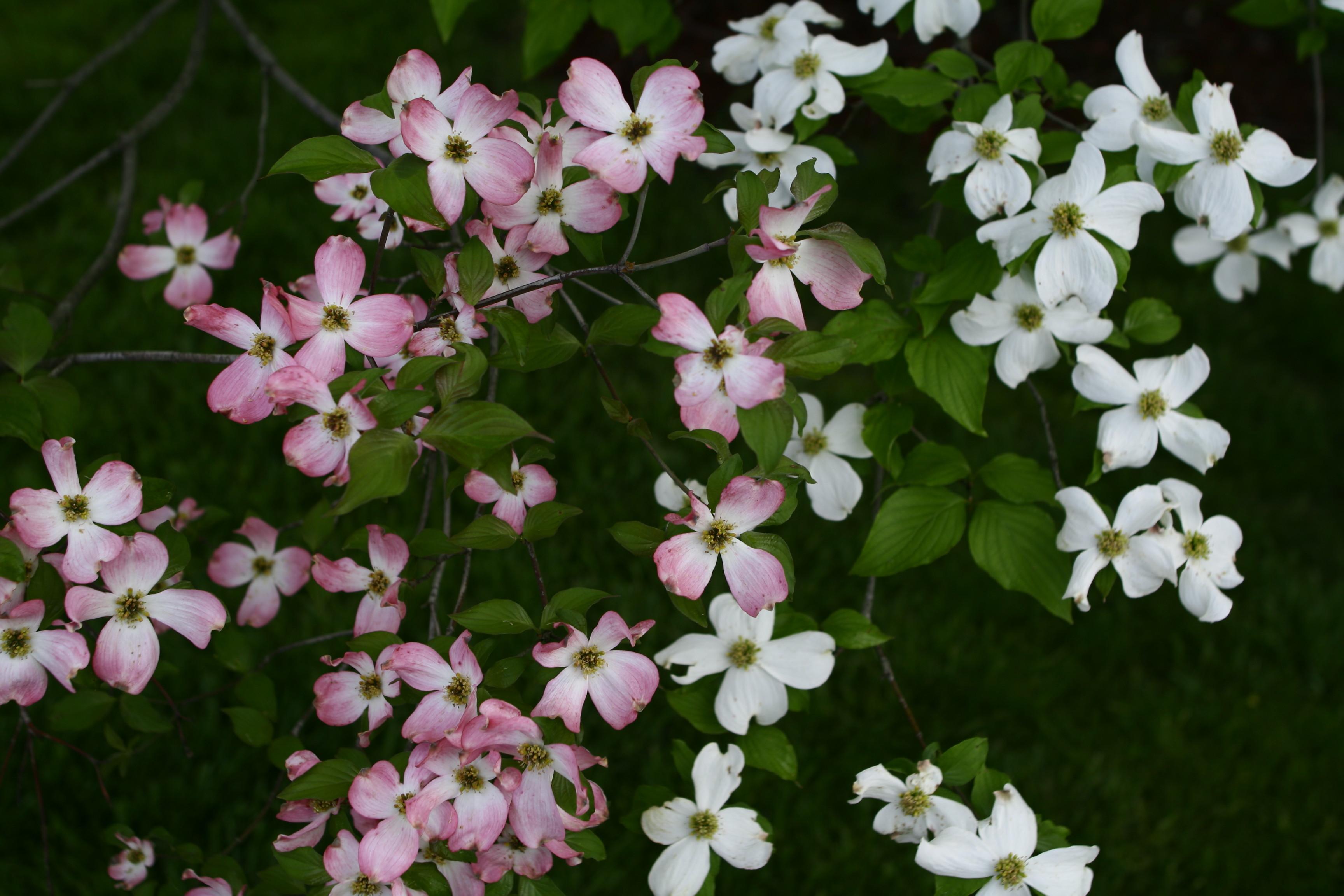 Filewhite Pink Pretty Dogwood Flowers West Virginia