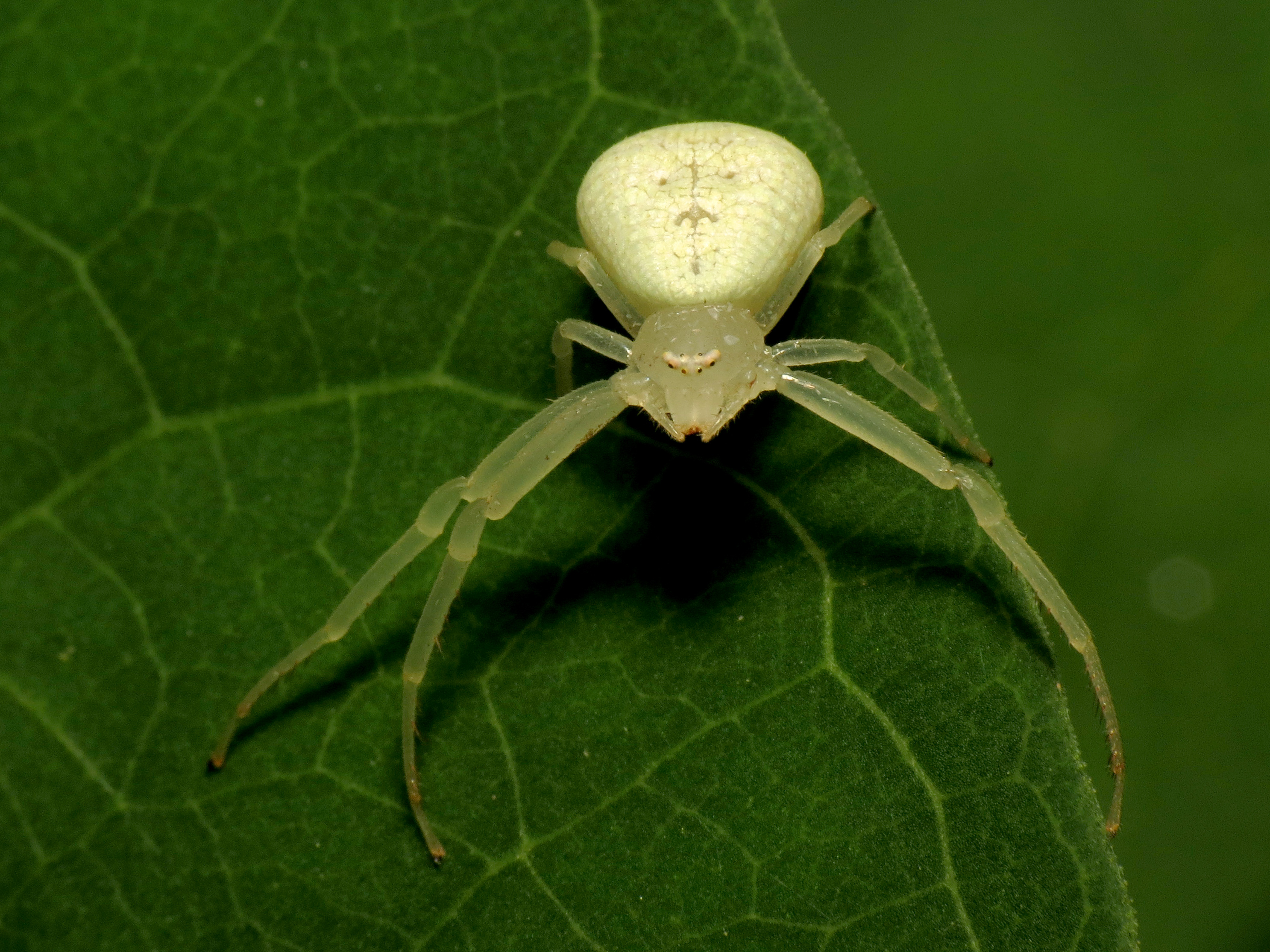 American Green Crab Spider (Misumessus oblongus)
