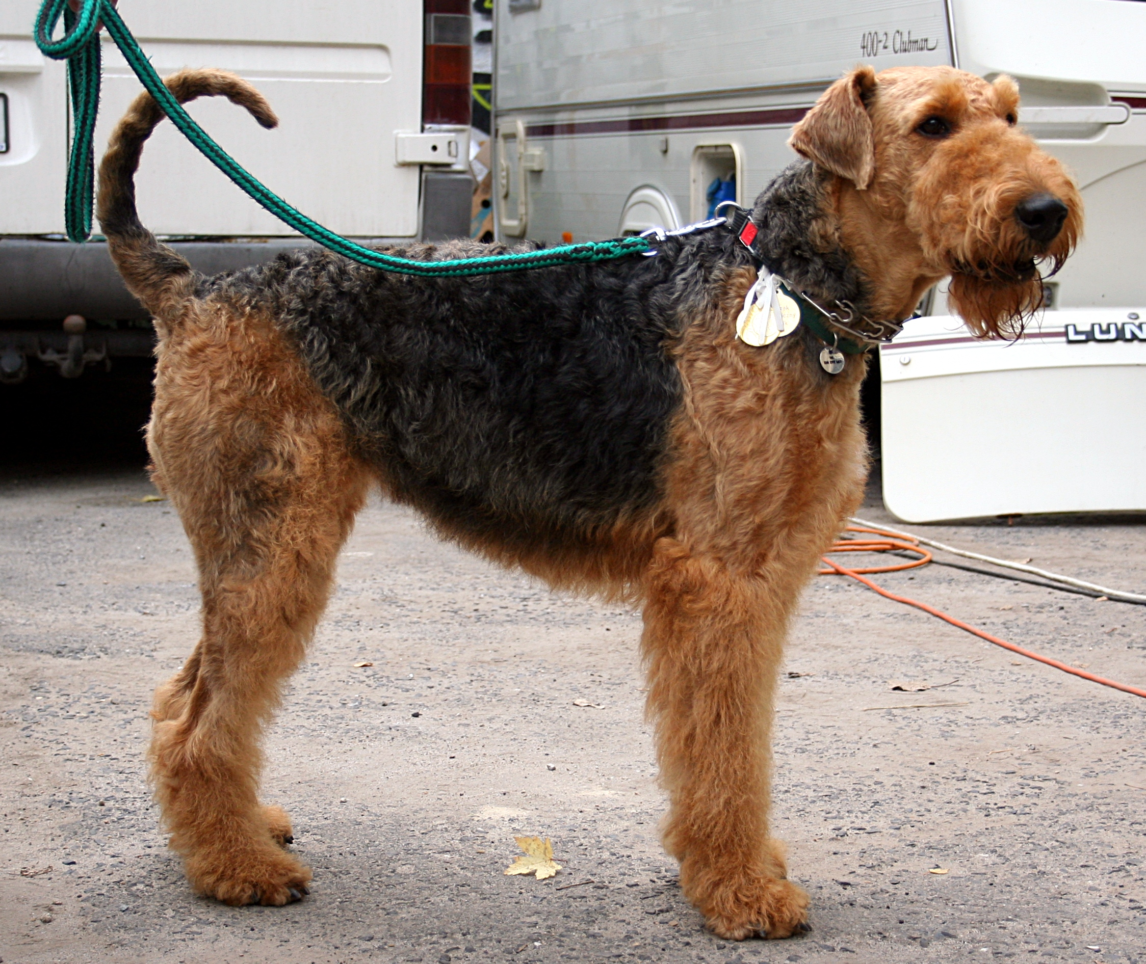 Airedale Terrier Informations and Pictures