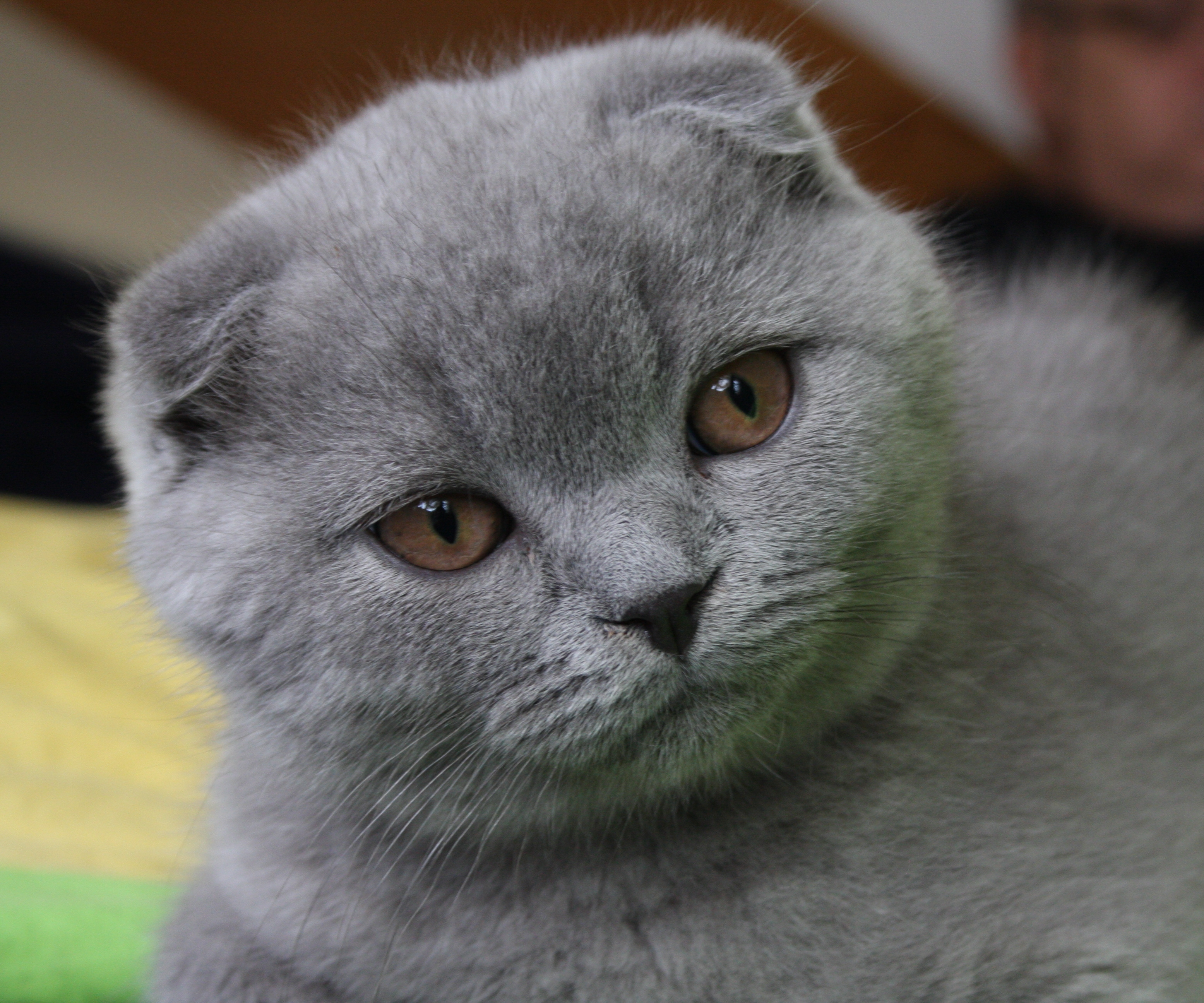 http://upload.wikimedia.org/wikipedia/commons/6/6c/3mo_lilac_Scottish_Fold_Fanel.jpg