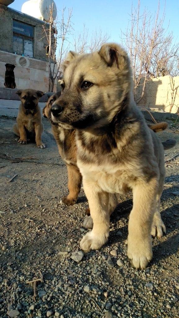 سگ سراب
