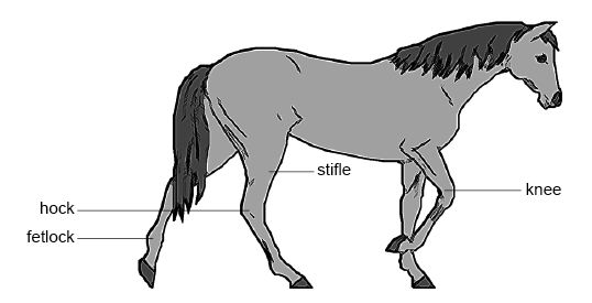 Anatomy and physiology of animals Common horse joints.jpg