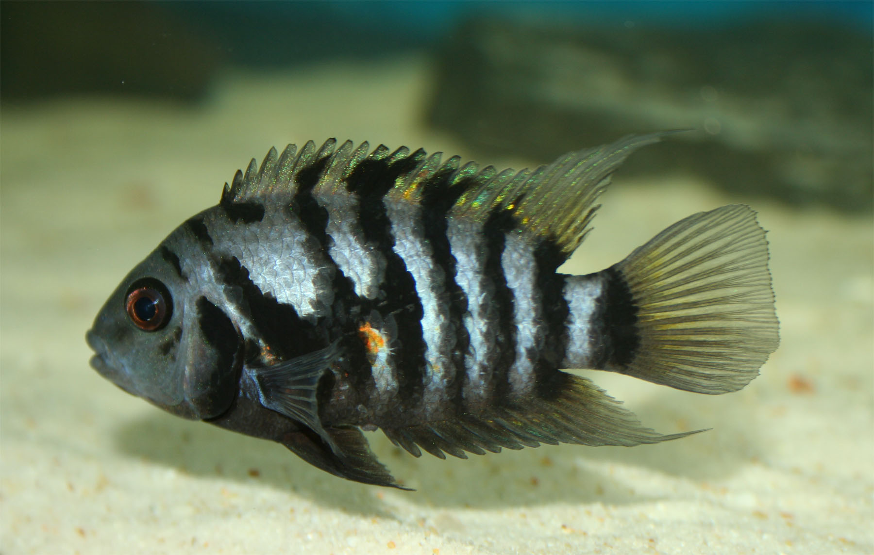 Convict cichlid (Amatitlania nigrofasciatus) | source wikimedia| user:Hippocampus | CC BY 2.5