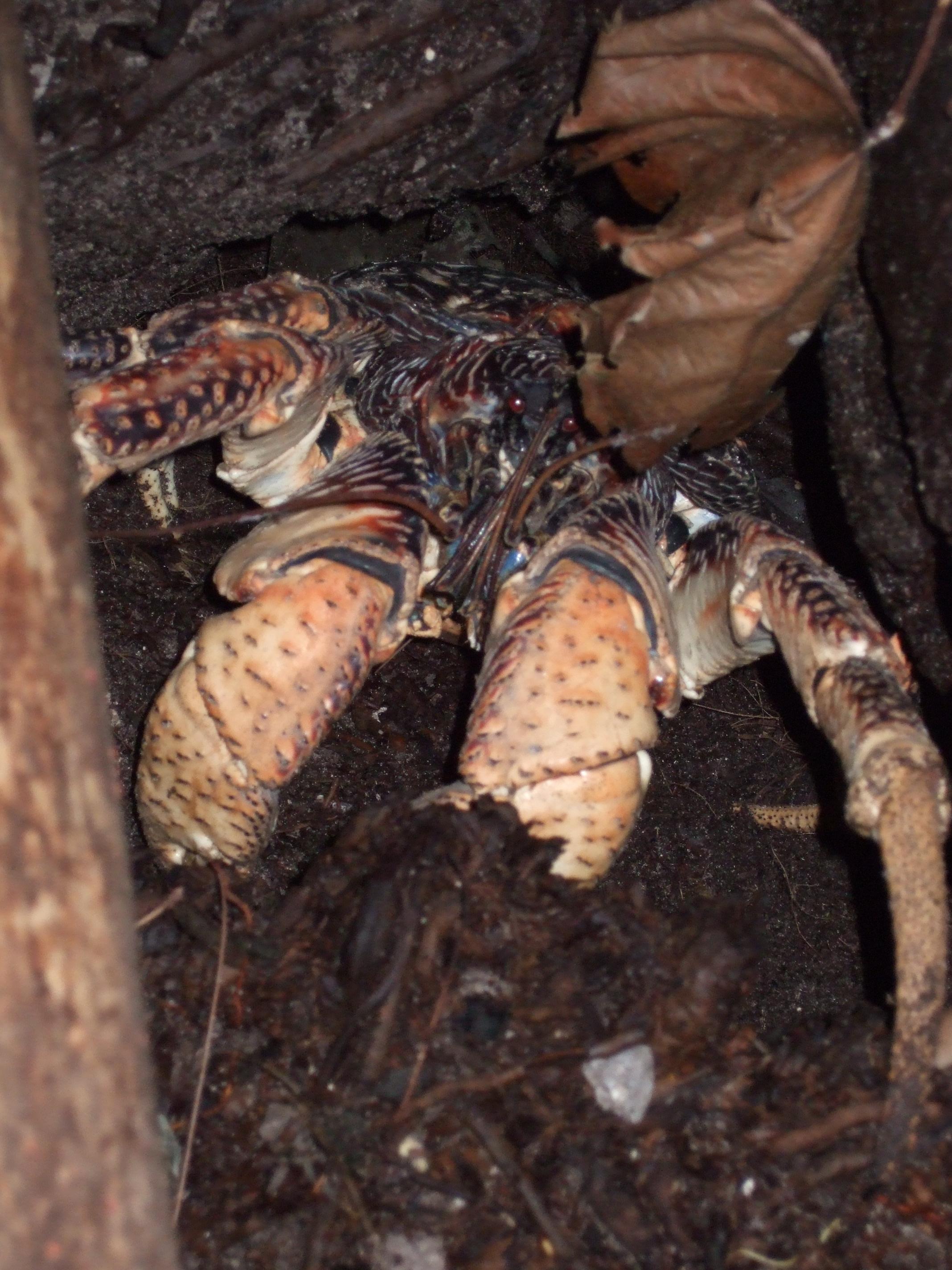 filebirgus latro in burrowjpg wikimedia commons