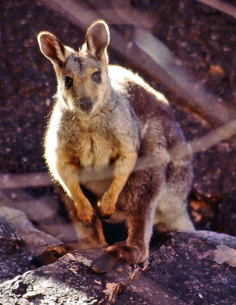 The average litter size of a Black-flanked rock-wallaby is 1