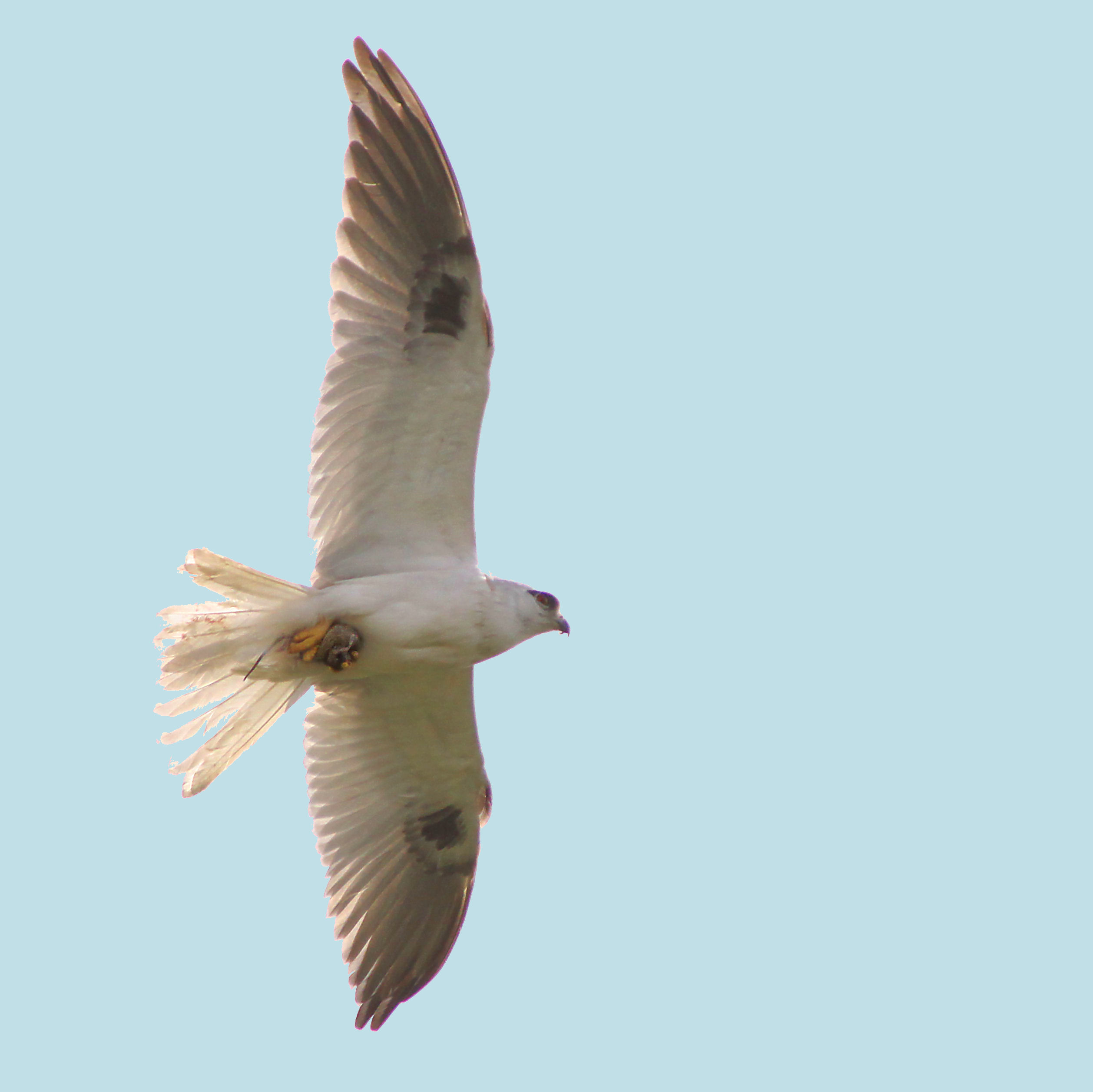 Black-shouldered Kite.jpg