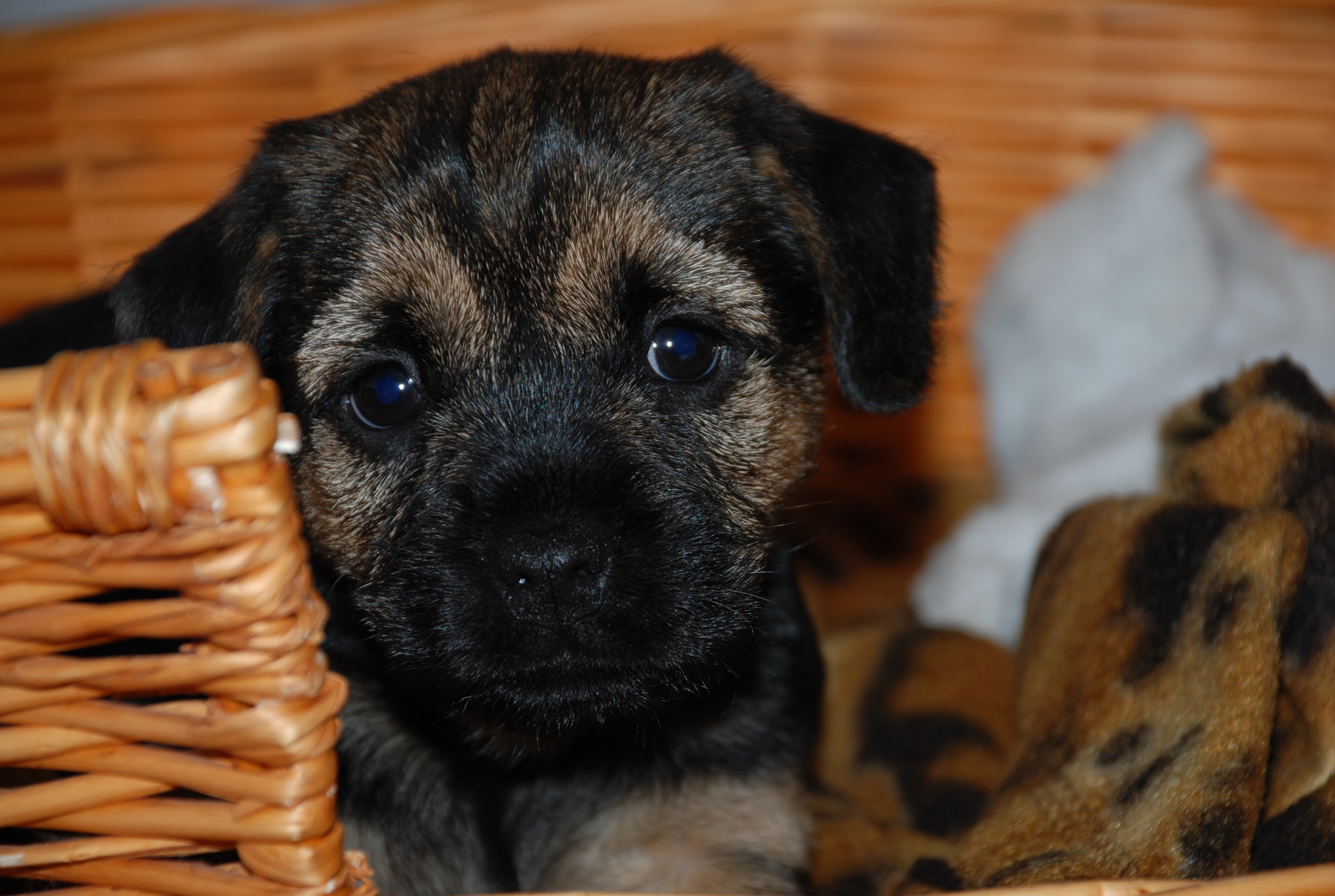 File Black And Tan Border Terrier Pup Jpg Wikimedia Commons