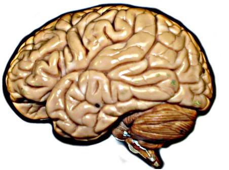 File:Brain hirez.jpg