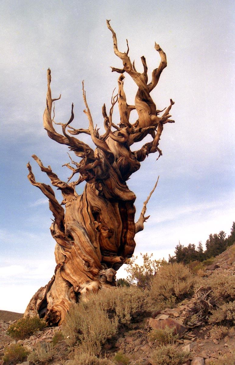 Limber white pine blister rust, Anna Schoettle