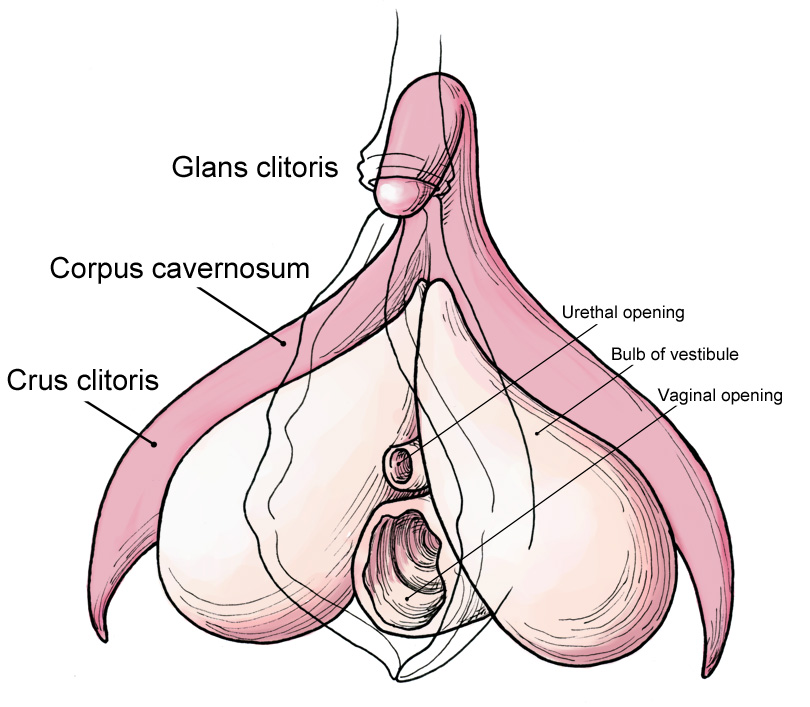 Naked anatomy clitoris