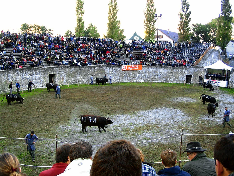 cowfight1.jpg