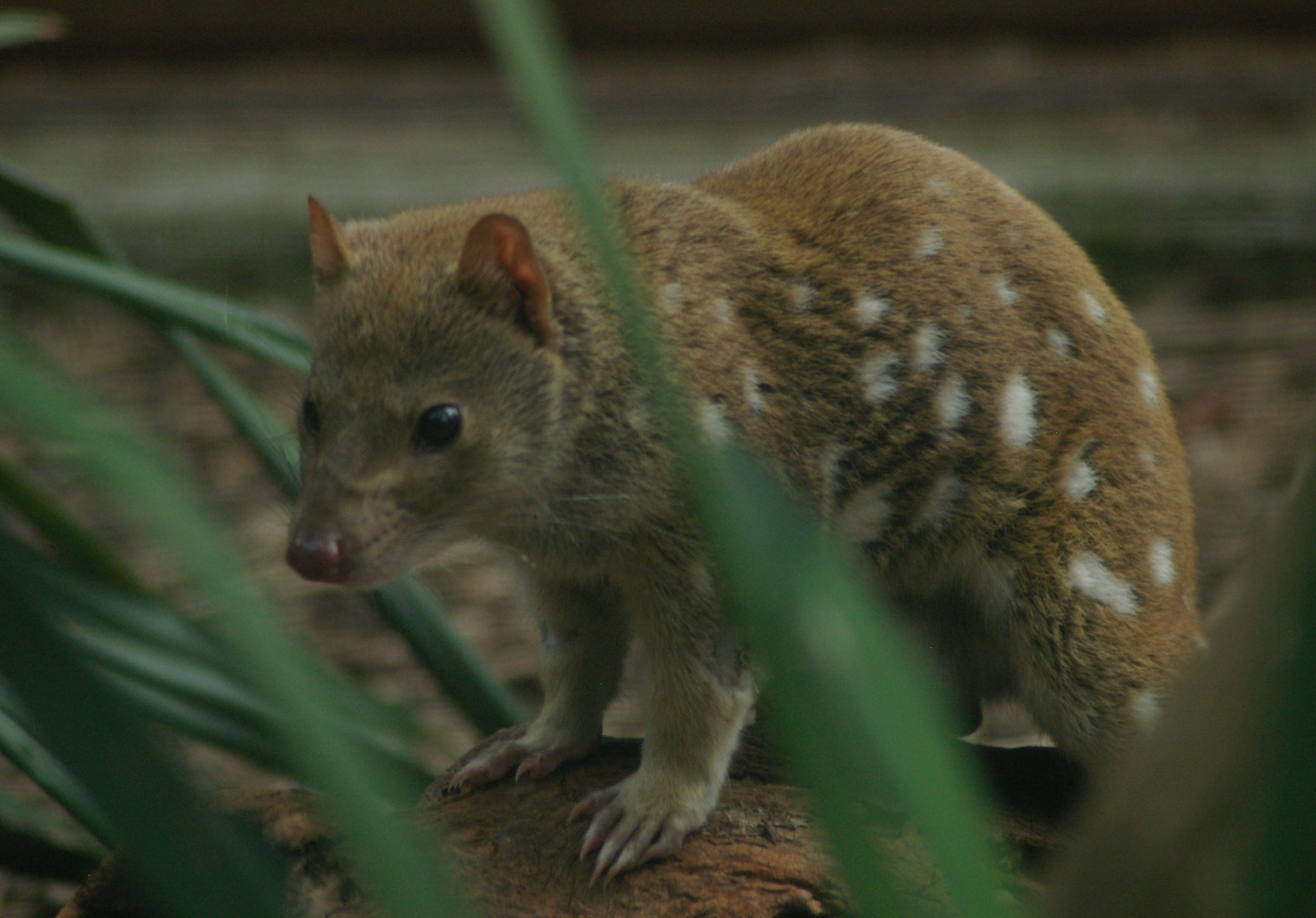Tiger_Quoll_blue_mountains