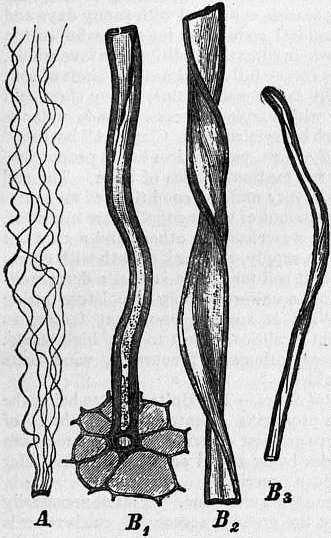 EB1911 Cotton - Fig. 1.—Seed-hairs of the Cotton.jpg