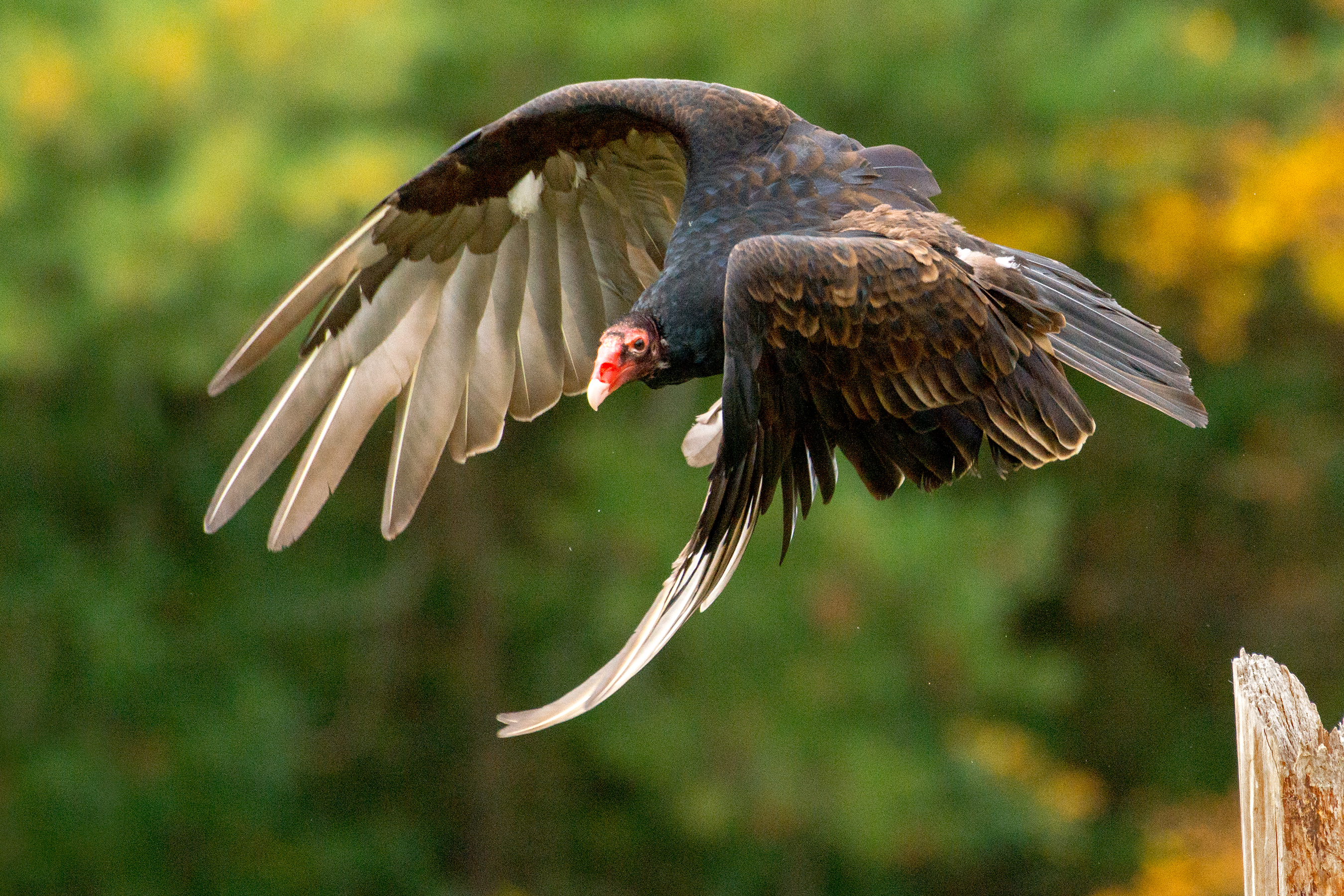 how to draw a turkey vulture