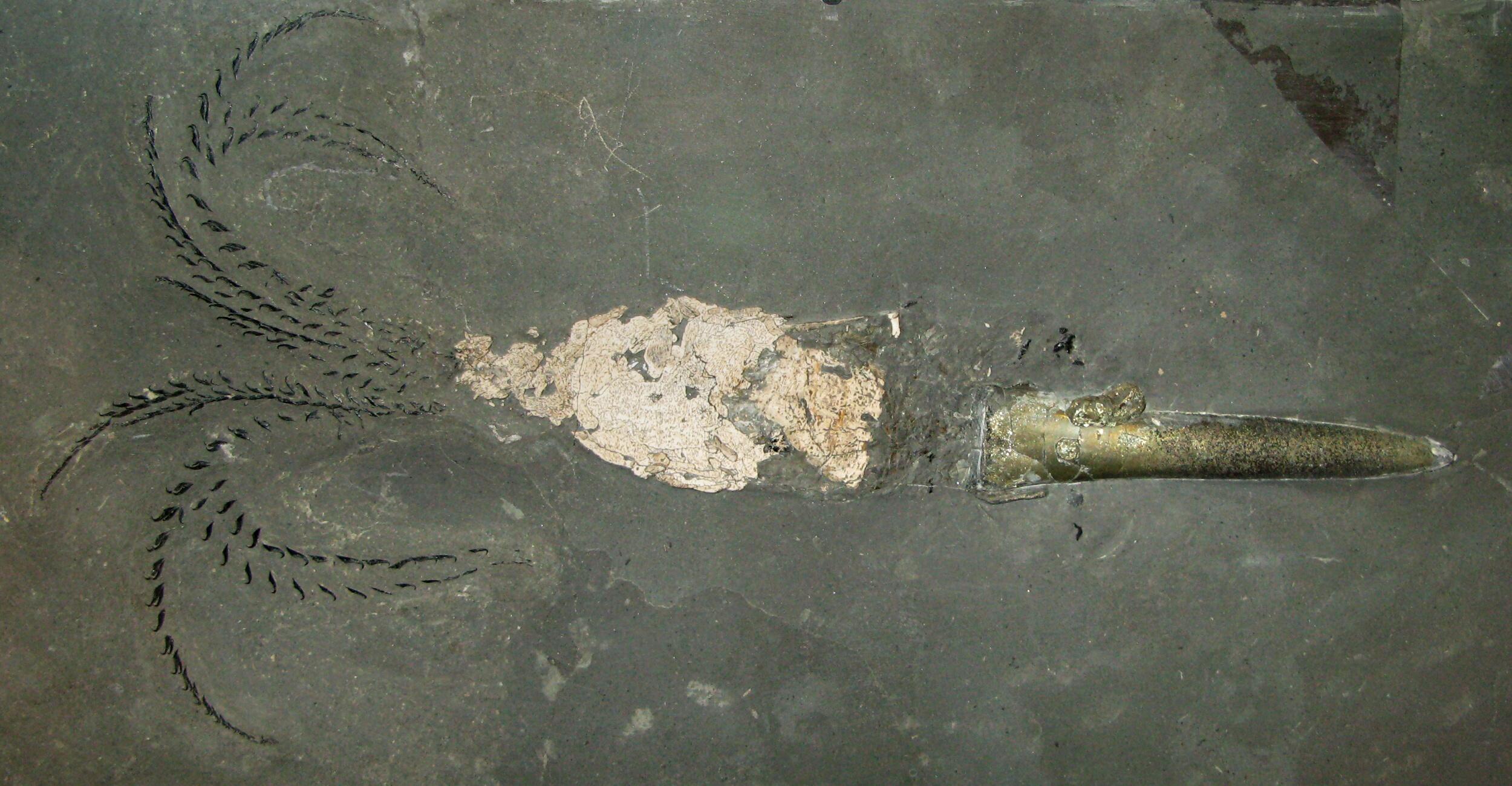 Belemnites Fossil-Belemnoidea-complete