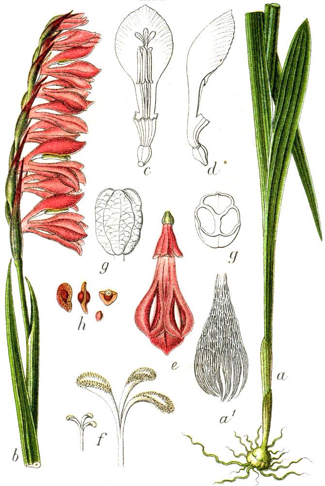 Mečík strechovitý (Gladiolus imbricatus)