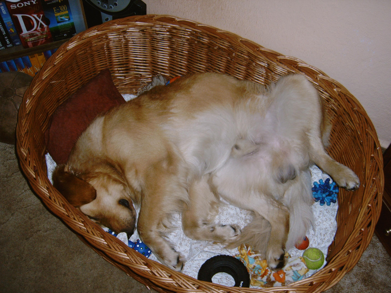 Resultado de imagen para golden retriever sleeping