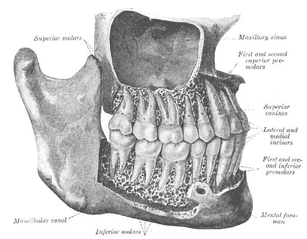 Mund-Antrum-Verbindung – Wikipedia