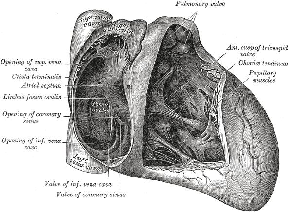 Fossa Ovalis Heart Wikipedia