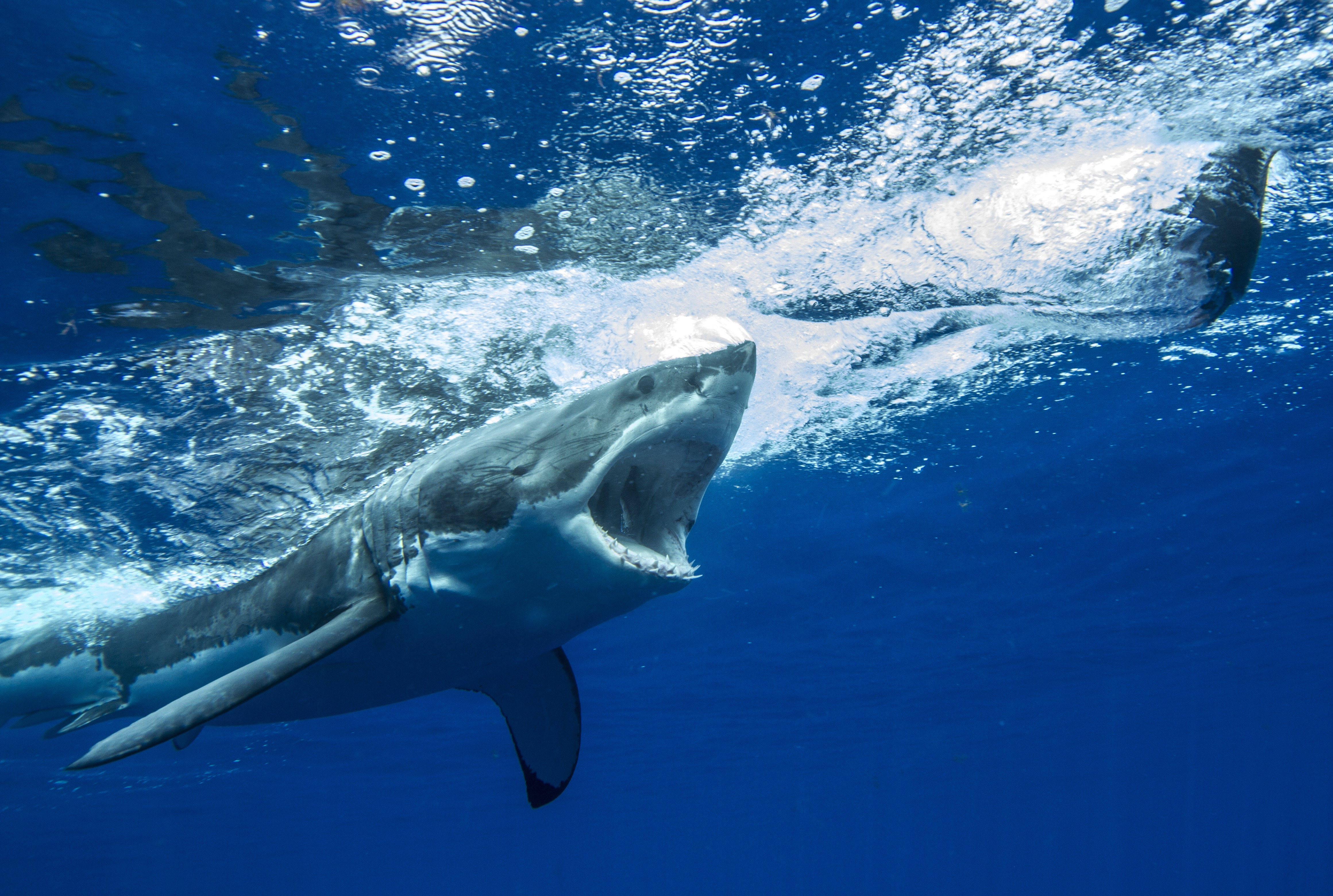Great white shark chases decoy prey from behind