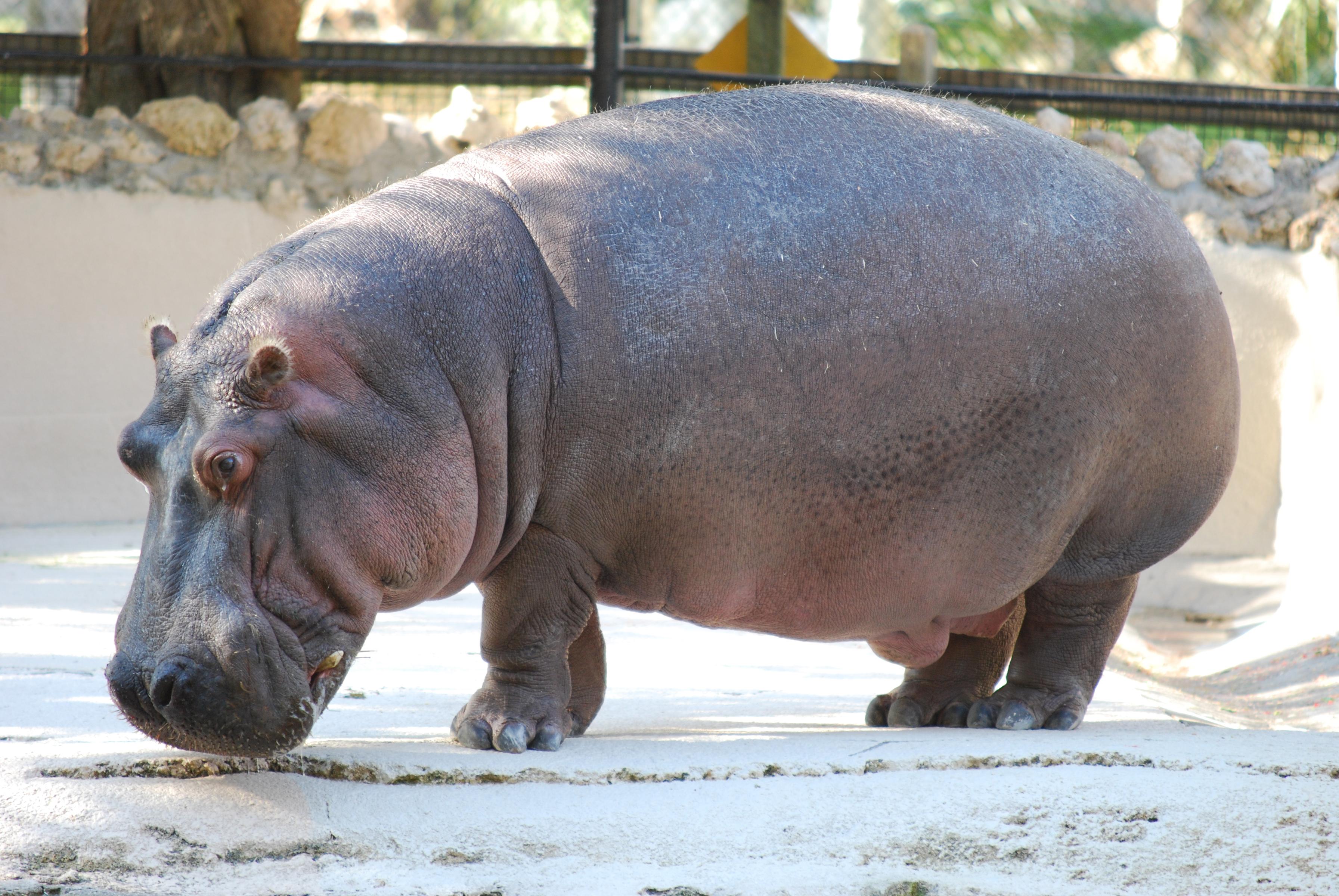 File Hippopotamus Amphibius Homosassa Springs Wildlife
