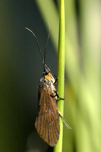 Potočník huňatý (lat. Lepidostoma hirtum)