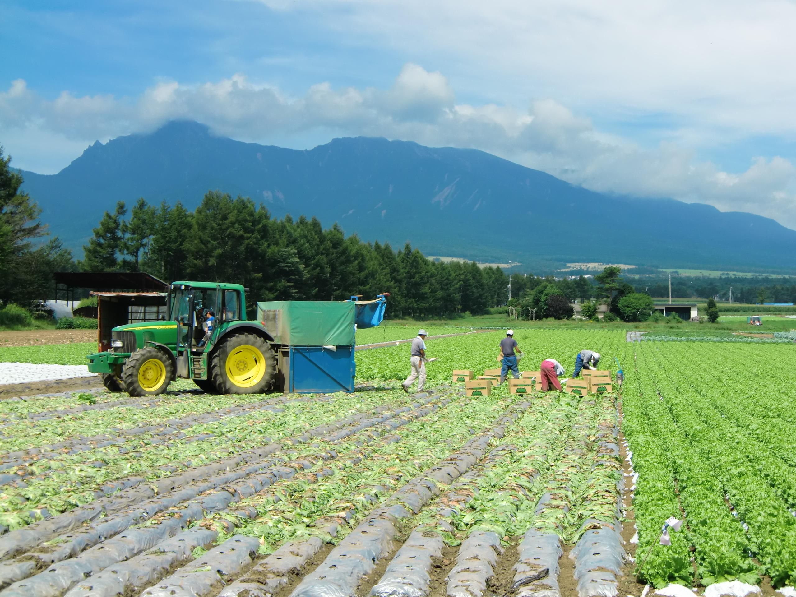 Lettuce harvest in Nobeyama.JPG