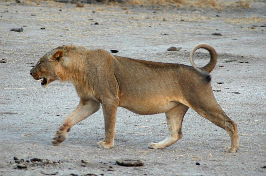 file lion walking jpg wikimedia commons