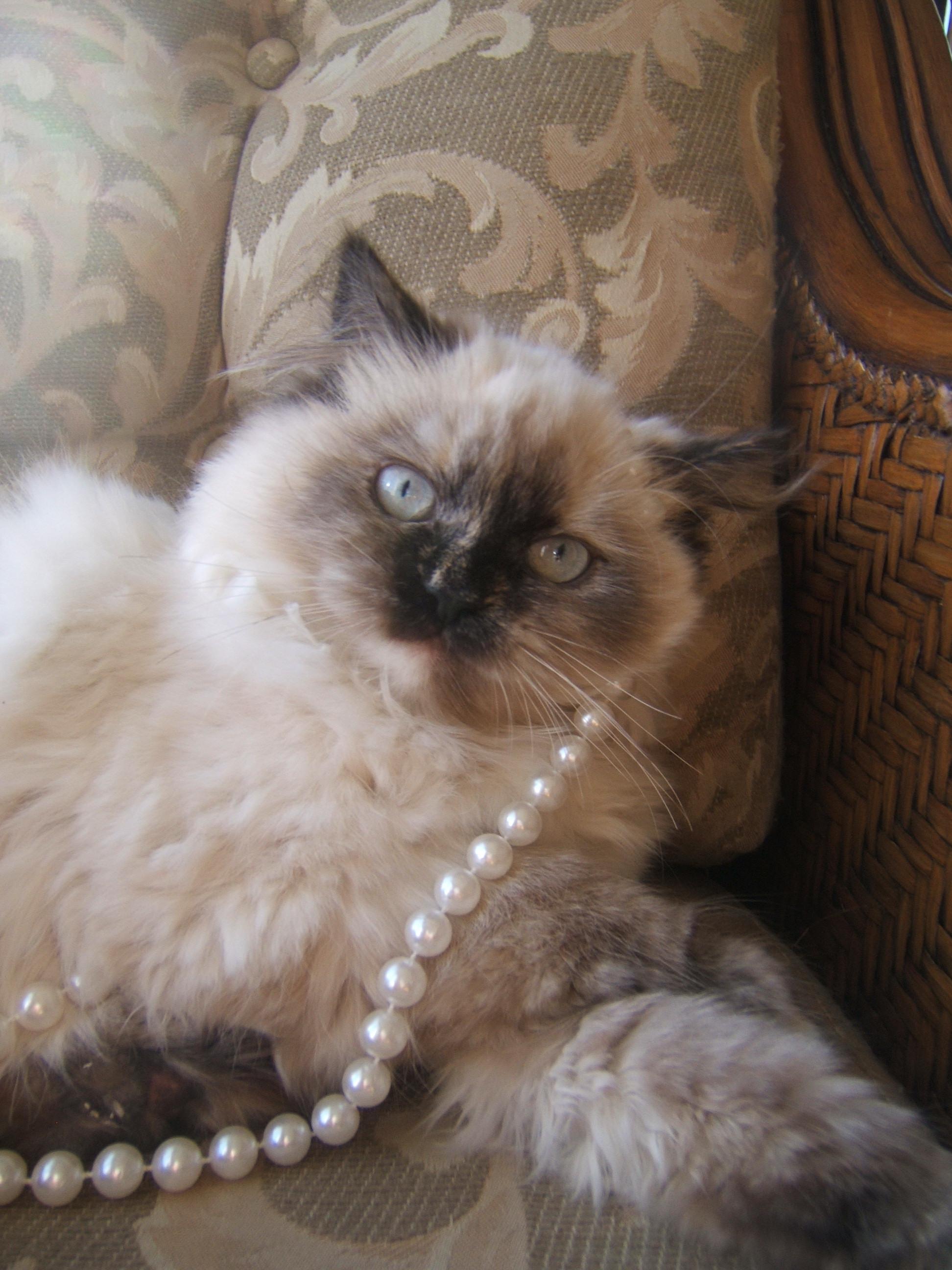 Himalayan Cat Breed - Cats Types