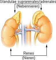 Nebenniere