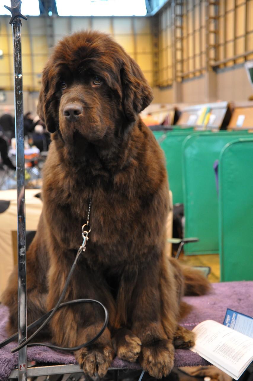Crufts Dog Show Wikipedia