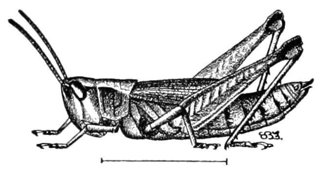 File:PSM V81 D472 The short winged locust or grasshopper.png ...