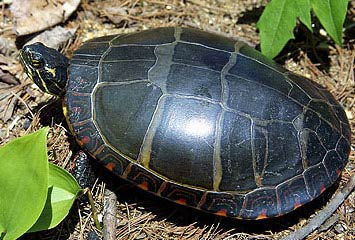 Can Painted Turtles Eat Wheatgrass