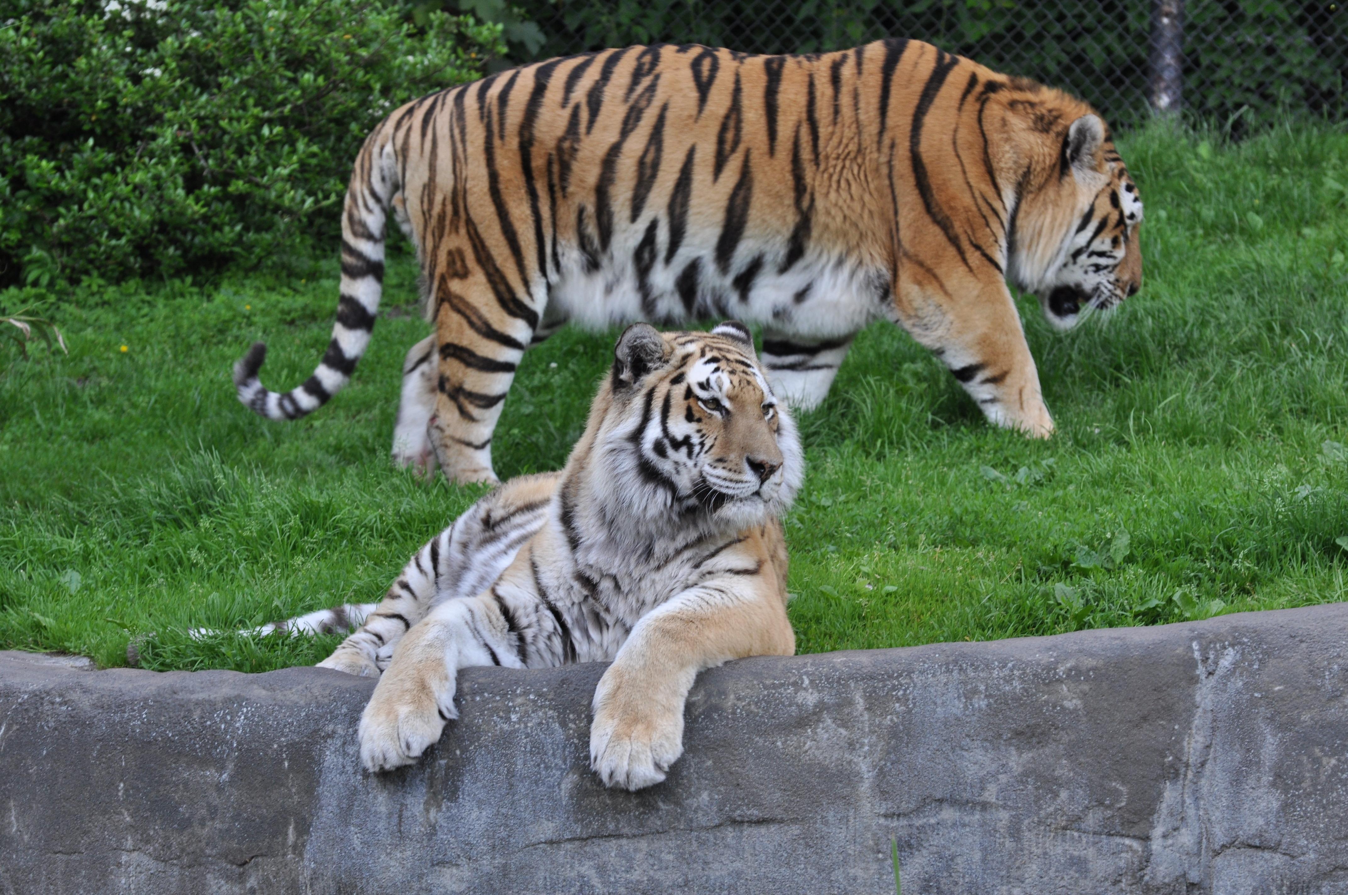 File:Panthera tigris altaica 1.JPG - Wikimedia Commons