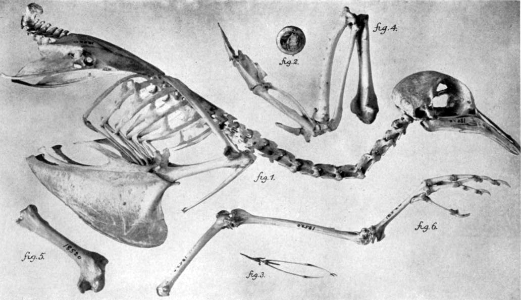 Pleasing File Passenger Pigeon Skeleton Wikimedia Commons Wiring Digital Resources Funapmognl